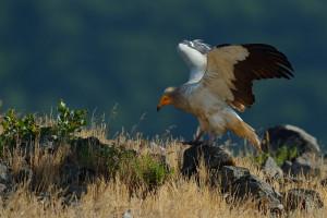 Egyptian vulture, Neophron percnopterus, Madzharovo, Rhodope Mountains rewilding landscape, Bulgaria.