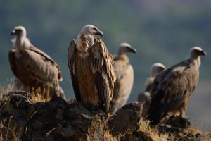 Griffon vulture (Gyps fulvus), Madzharovo, Rhodope Mountains, Bulgaria.