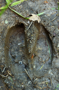 Footprint of European bison, Bison bonasus, in the Tarçu Mountains, Southern Carpathians, Romania.