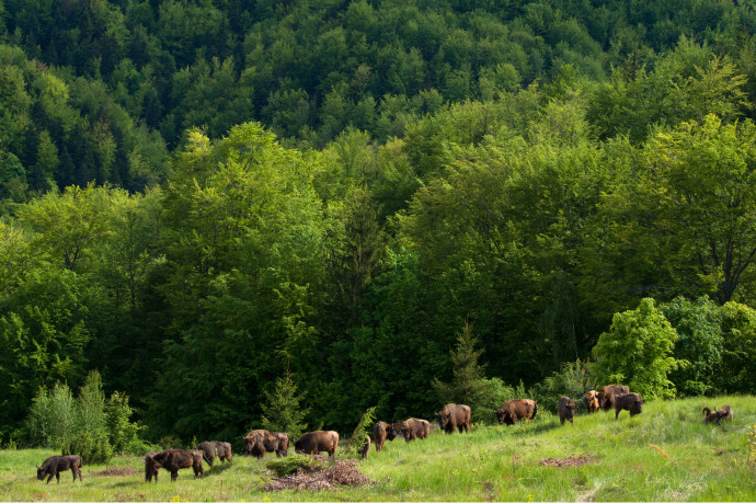 Release of European bison, Bison bonasus, in the Tarçu mountains Natura 2000 site, Southern Carpathians, Romania. Two releases were done by Rewilding Europe and WWF Romania in May 2014 and June 2015.