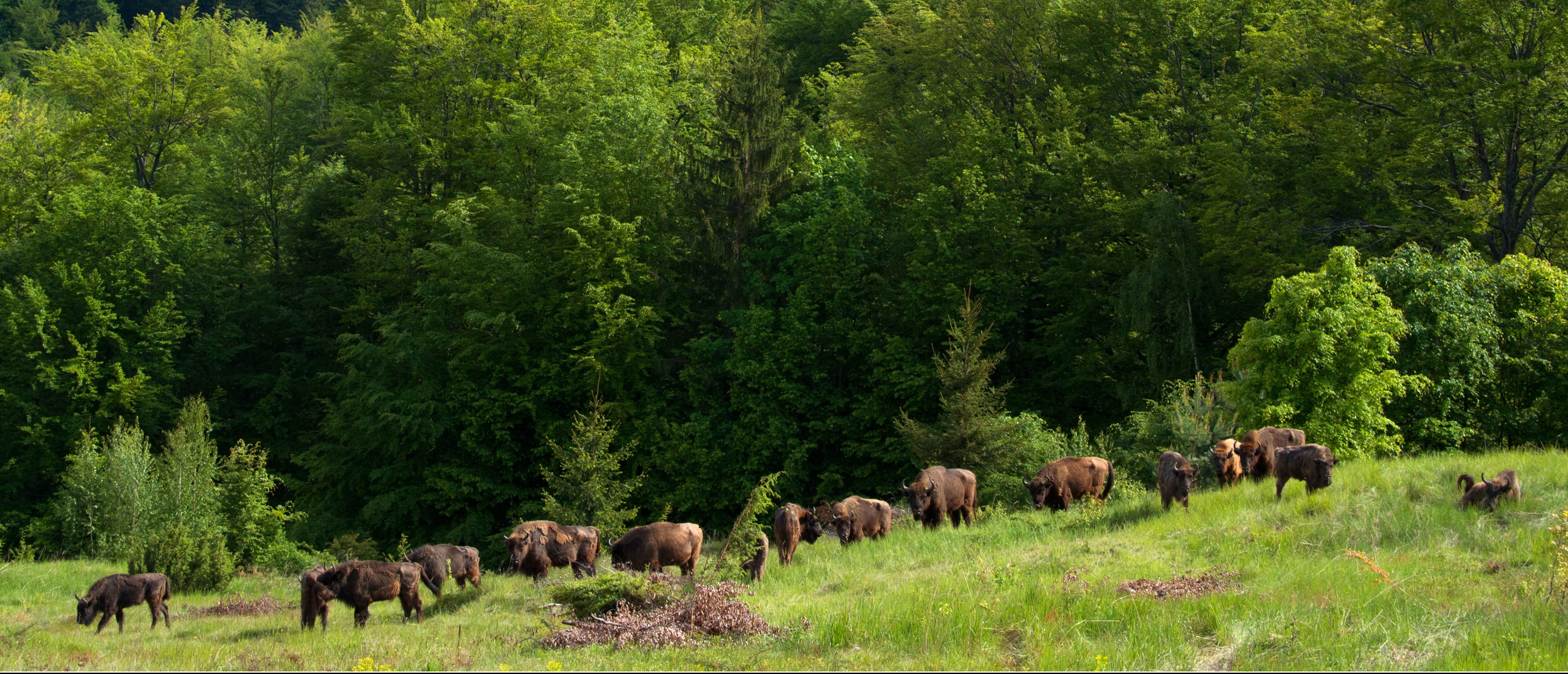 In late August nine European bison were released into the wild in the Țarcu Mountains, at the second of the Southern Carpathian rewilding areas.