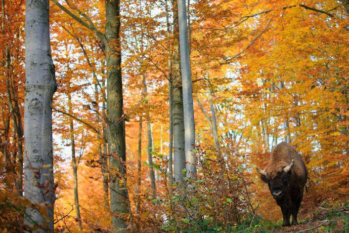 European bison in the Bieszczady Mountains, Eastern Carpathians, Poland