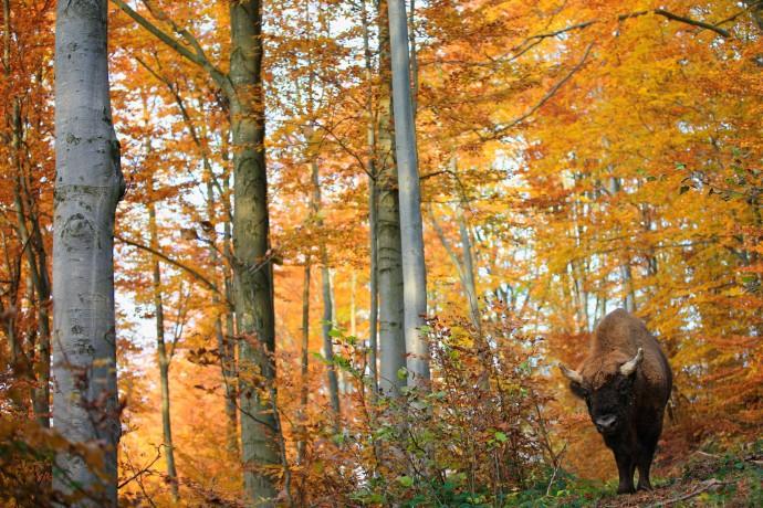 European bison in the Bieszczady Mountains, Eastern Carpathians, Poland