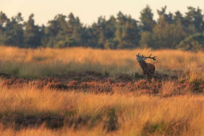 Red deer in Deelerwoud/Veluwezoom area