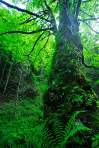 Old Maple in the Southern Carpathians, Romania