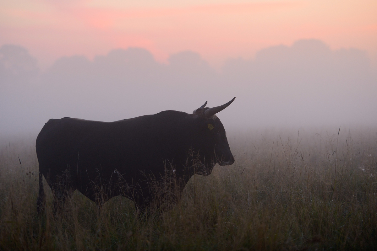 The aurochs may be long gone, yet all is not lost. Today, strands of its DNA remain alive, distributed among a number of ancient cattle breeds that still exist across Europe. Image: Staffan Widstrand / Rewilding Europe