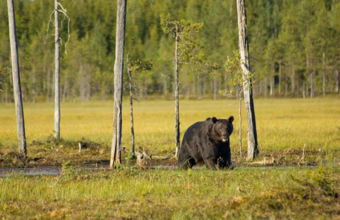 Brown bear (Ursus arctos) strolling in the open landscape of the south-eastern corner of the Kainuu region, Finland.