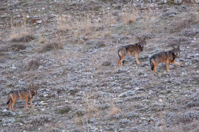 Apennine / Italian wolf (Canis lupus italicus) in the pack of three walking on mountain slope, Abruzzo, Central Apennines, Italy.