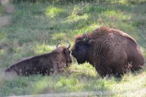 Bison bull in Wisent Welt enclosure area, Rothaargebirge, North-Rhine-Westphalia, Germany.