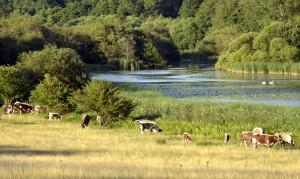Free ranging Longhorn cattle grazing at Knepp Wildland, West-Sussex, United Kingdom.