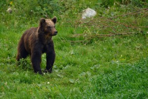Eurasian brown bear (Ursus arctos) in Velebit, Croatia.