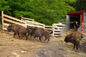 The first release of European bison in the Southern Carpathians, carried out by Rewilding Europe and WWF Romania, took place in May 2014.