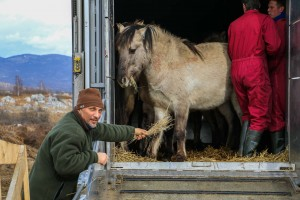 Velebit team leader Davor Krmpotić welcoming the animals to their new home