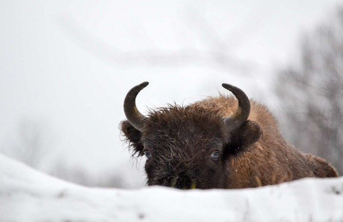 The winter season is a challenging time for the bison