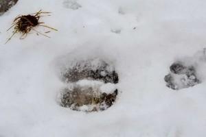 Bison and dog tracks