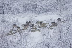 Fallow deer grazing in Chernoochene rewilding site near the town of Kardzhali, Bulgaria.