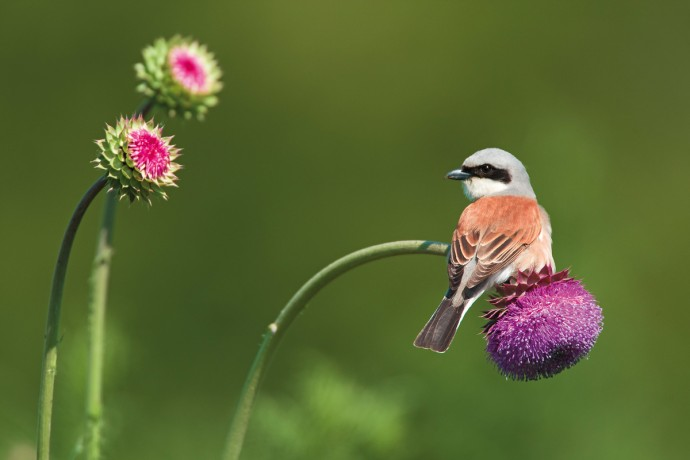 Red-backed Shrike male (Lanius collurio) on a Musk thistle (Carduus nutans), Rhodope Mountains, Bulgaria.