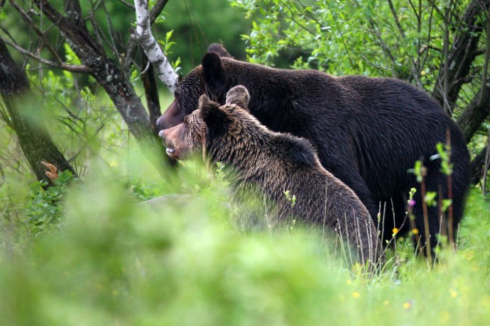 Brown Bear (Ursus arctos) female with cub, Bieszczady Mountains, Eastern Carpathians, Poland.