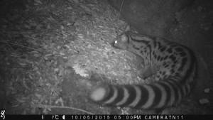 Wildlife camera photo of Common genet, Côa Valley, Western Iberia, Portugal.