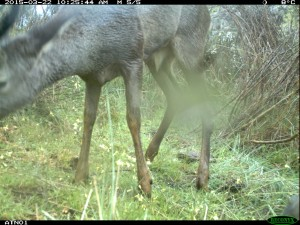 Visual confirmation of roe deer presence in the Faia Brava reserve, Western Iberia, Portugal.