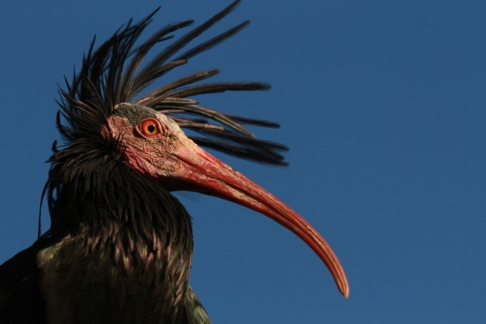 The Northern Bald Ibis (Geronticus eremita) is one of the most endangered migratory bird species worldwide, marked as critically endangered on the IUCN Red List of Threatened Species.