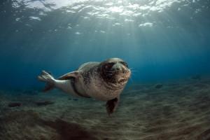 Greek islands Kalamos and Kastos are home to the endangered Mediterranean monk seal (Monachus monachus).