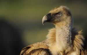 Griffon vulture, Gyps fulvus, Eastern Rhodopes, Rhodope Mountains rewilding landscape, Bulgaria.