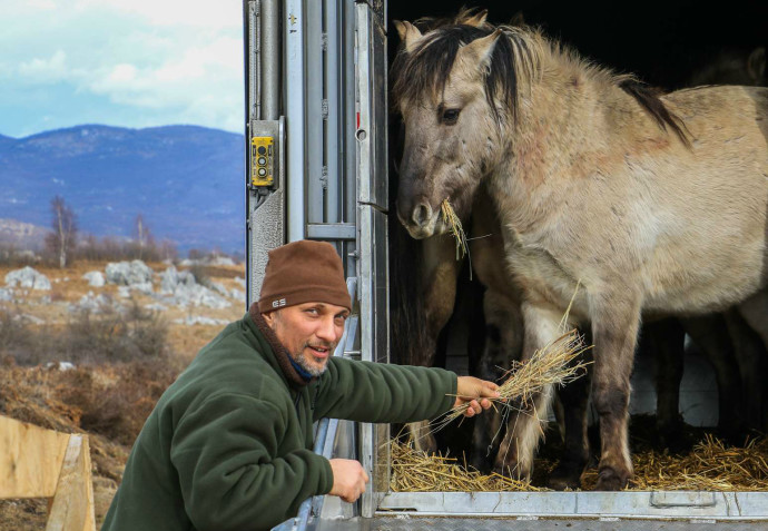 Davor Krmpotić, team leader of Velebit Mountains team, welcoming Konik horses arriving from Latvia to Lika plains rewilding site in Croatia.