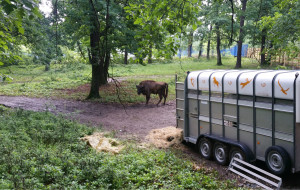 European bison arrived to the Hunedoara Bison Breeding Centre in Romania on 25 May 2016.