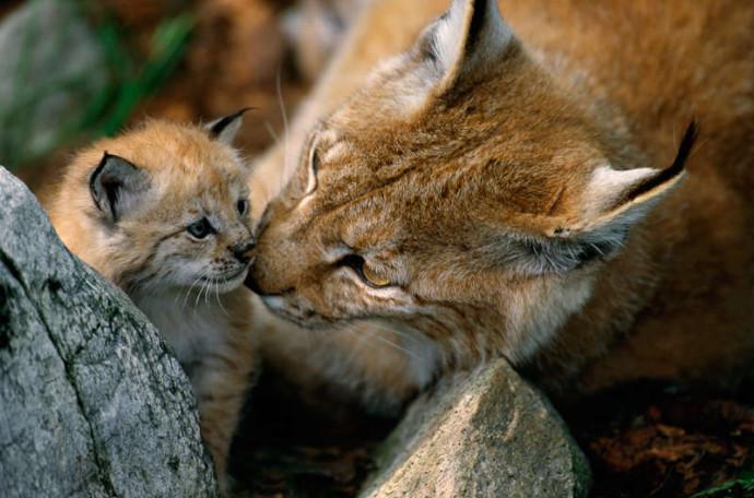 Eurasian Lynx female and kitten, Lynx lynx, Langedrag, Norway.