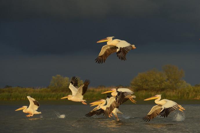 White pelicans, Pelecanus onocrotalus, Danube Delta rewilding area, Romania.