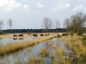 Bison grazing in the Maashorst nature reserve, province of Noord-Brabant, the Netherlands.