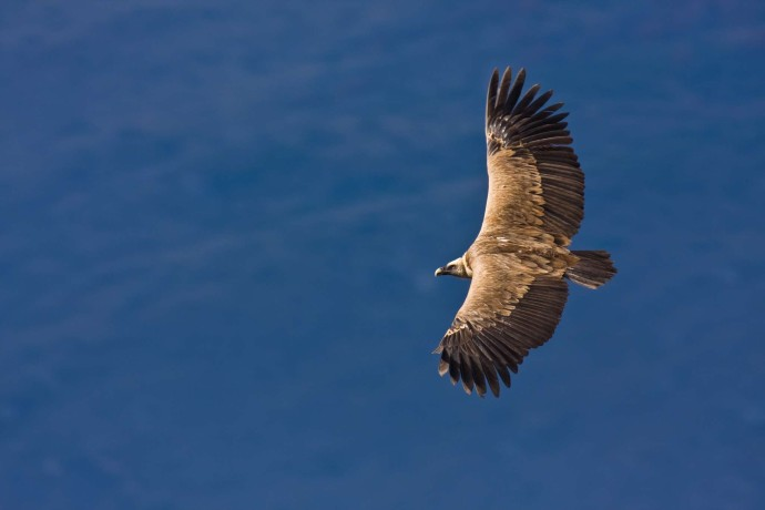 A griffon vulture soars high in the sky on a thermal updraft.