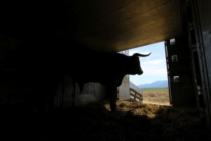 The last bull took its time before stepping out to join the herd.