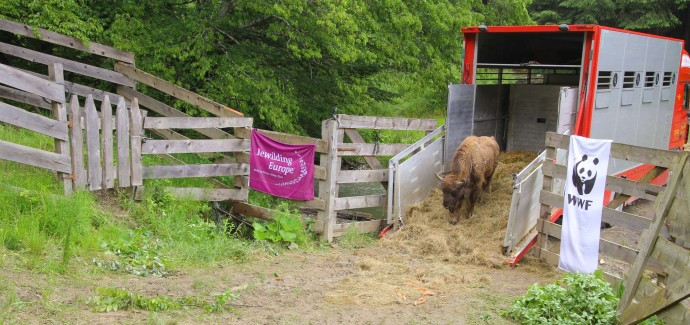 In April 2017, a new group of nine European bison safely arrived at Southern Carpathians rewilding area.