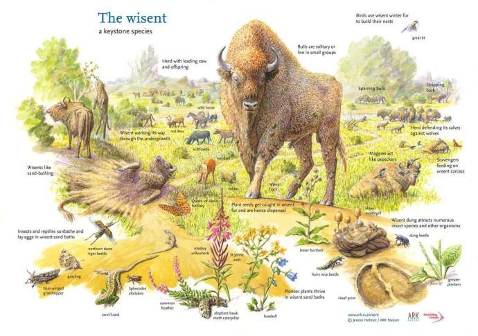 The European bison facilitates a rich biodiversity in European landscapes.