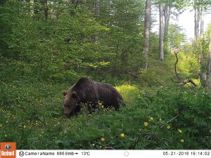 Brown bear photographed by wildlife camera in front of the hide, Velebit rewilding area, Croatia.