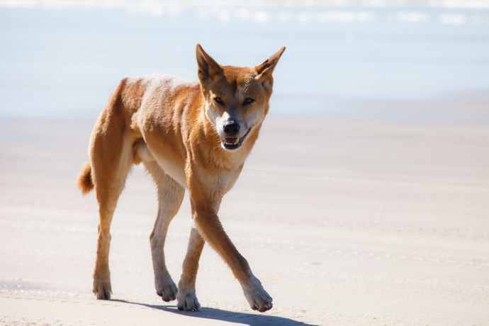 Evidence suggests that dingoes (Canis dingo) can regulate populations of foxes and cats, but dingoes are relentlessly persecuted in Australia due to fears about livestock predation.