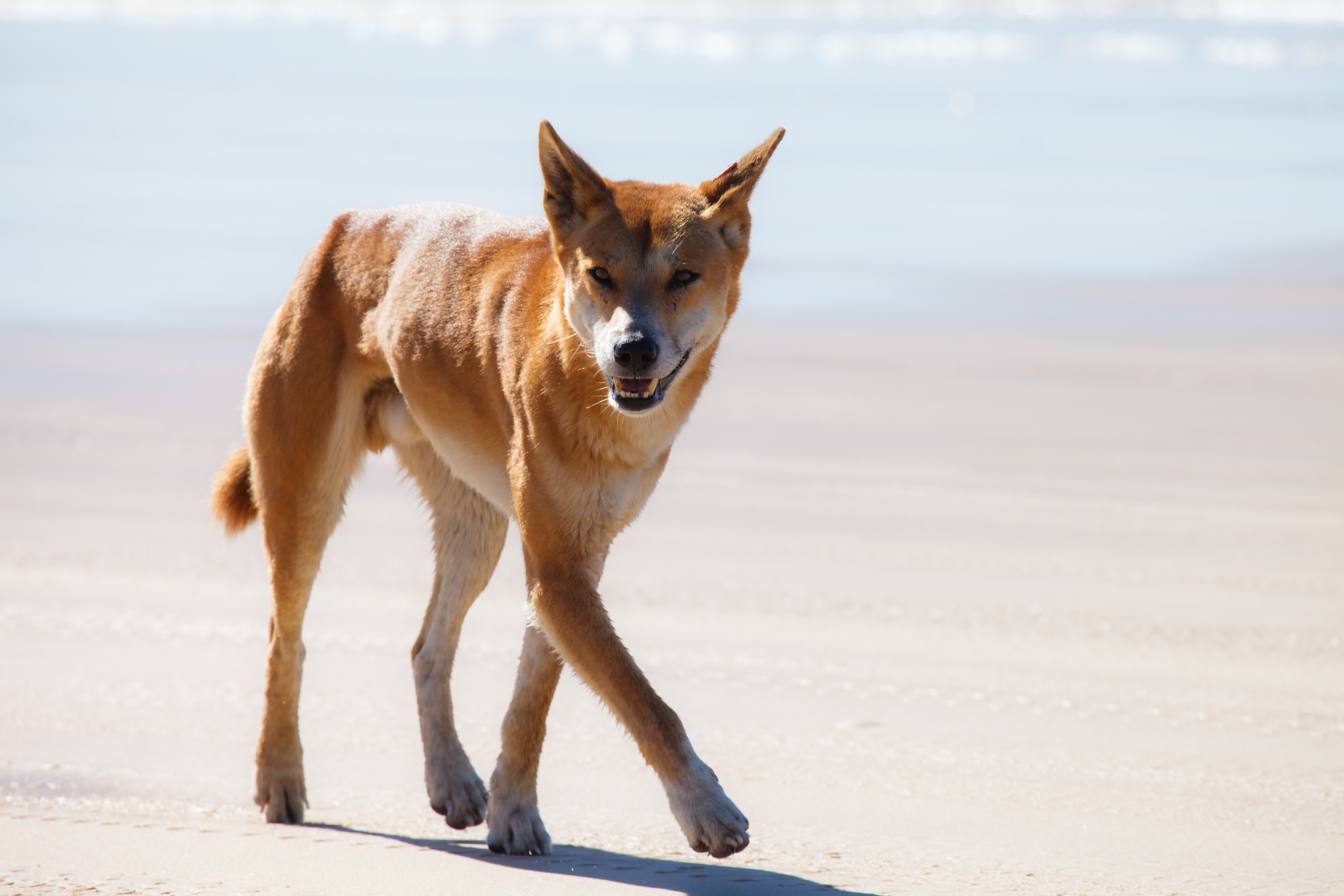 The widespread removal of Australian dingoes has reduced the natural control of introduced species such as foxes and cats. This, in turn, has negatively impacted populations of indigenous small mammals.