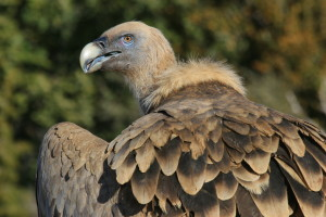 Griffon vulture (Gyps fulvus).