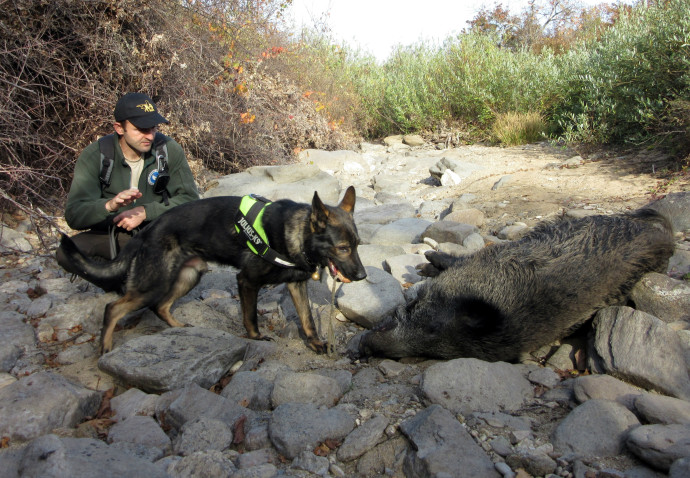 The first case of poisoned animal was a wild boar discovered this Sunday in Eastern Rhodopes, Bulgaria. The Anti-Poison Dog Unit established under LIFE Vultures project arrived to location and searched the surrounding area for poisoned bait.