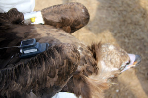 Satellite transmitter and wing tag fitted on a black vulture in Greece.