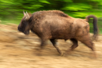 """The LIFE project """"Urgent actions for the recovery of European Bison populations in Romania"""" includes annual bison releases in the Romanian Tarçu and the Poiana Ruscă Mountains."""