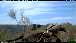 Griffon vulture feeding off the carcass, Western Iberia rewilding area, Portugal.