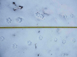 Snow tracks of the Eurasian lynx recorded this January in Czech Western Carpathians.