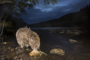 European beaver (Castor fiber) feeding at night, Knapdale Forest, Argyll, Scotland