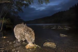 European beaver (Castor fiber) feeding at night, Knapdale Forest, Argyll, Scotland