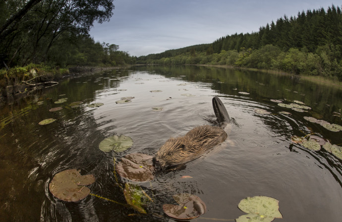 In 2016, beavers were given native species status after reintroduction to Scotland.
