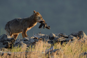 Eurasian grey wolf at a vulture watching site in the Madzharovo valley, Rhodope Mountains rewilding area, Bulgaria.
