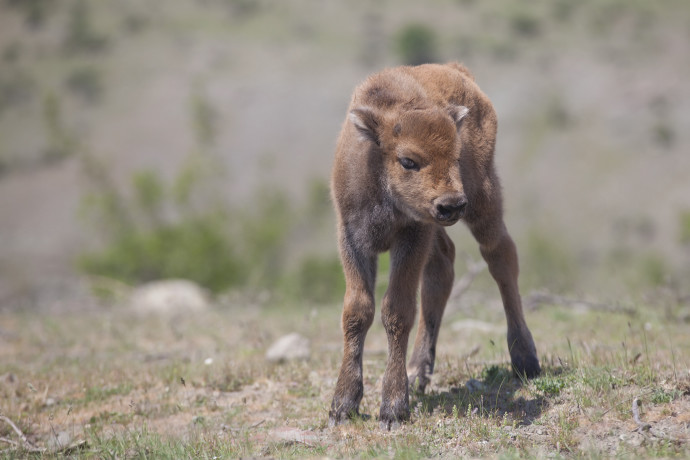 On April 30, 2017, a new baby bison was born in Rhodope Mountains rewilding area in Bulgaria.